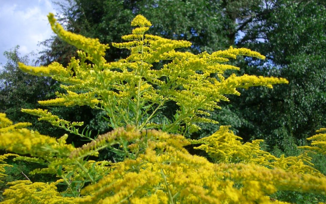Solidago – Verge d'or