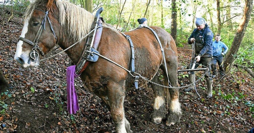 Brest – Des chevaux apportent leur aide au service des espaces verts de Brest Métropole
